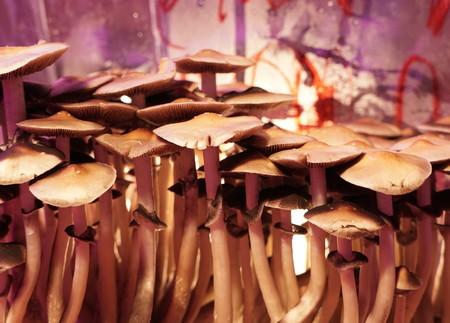 History of the Magic Mushroom - Mediamatic