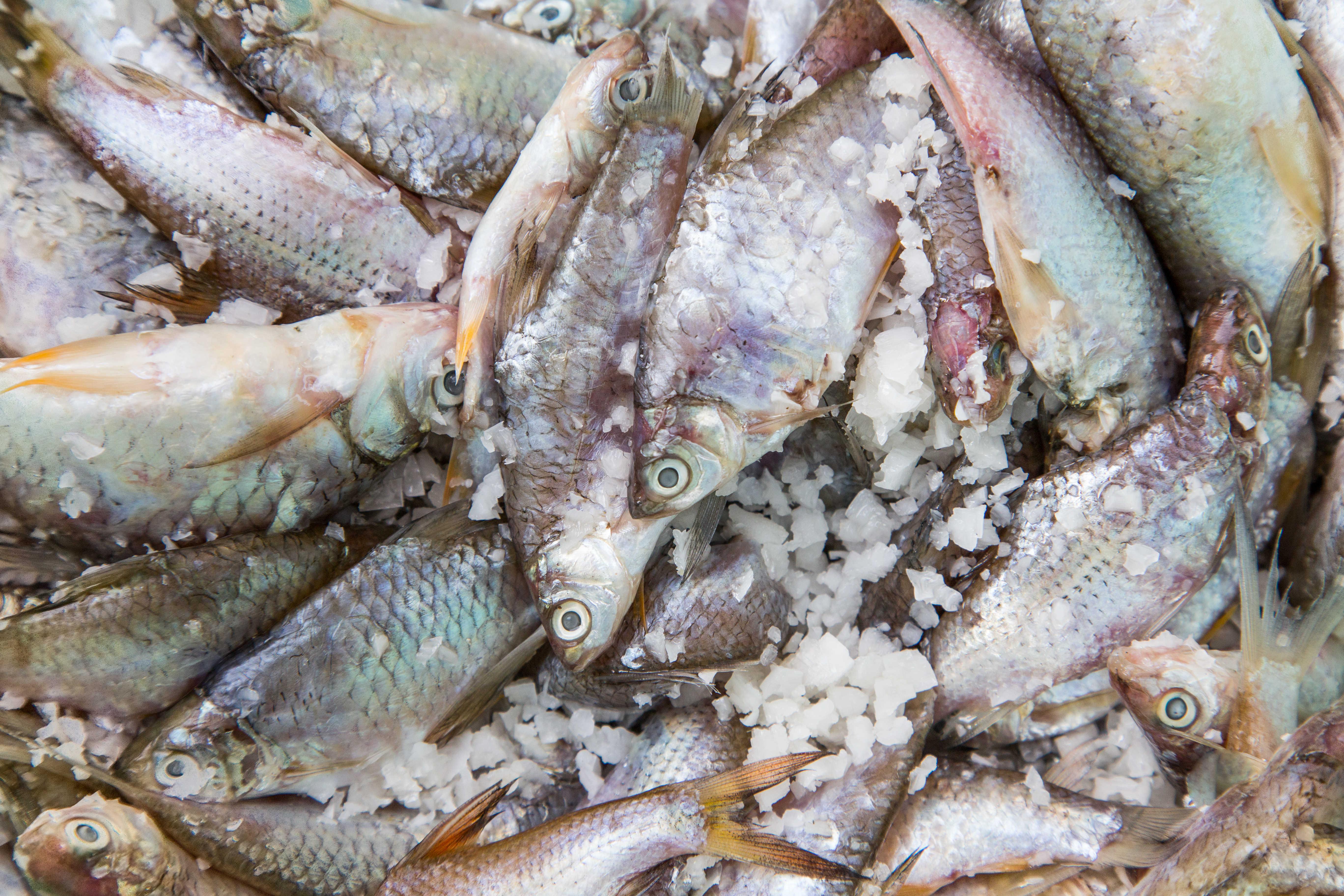 Fermenting Fish - Mediamatic